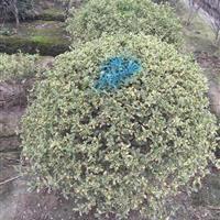 银姬小蜡球1.2米, 水杉、池杉、中山杉、落羽杉,广玉兰