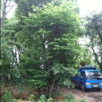 温州地区大量出售榕树、青冈砾、香樟、朴树、榆树