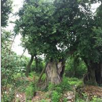 米径1.2榕树