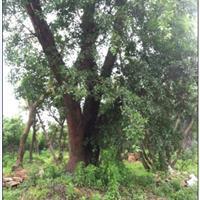 1米左右分叉,形态良好90米径榕树