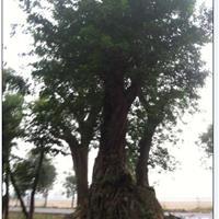 移栽3年大榕树