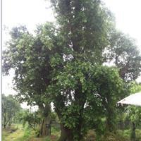 90公分以上移栽榕树