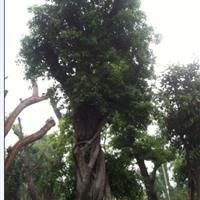 90公分移栽3年以上榕树