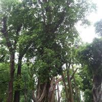 90公分米径顶端多分枝榕树