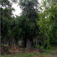 树形优异1米4左右米径大榕树