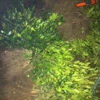 小叶蚊母,金丝桃、黄馨、黄金条、扶芳藤、常春藤、花叶蔓等