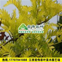 正宗彩叶金叶皂荚 小苗彩叶苗木绿化苗木低价出售