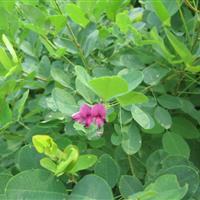 胡枝子 木绣球 紫穗槐来定州美林苗圃