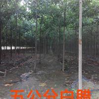 白蜡供应,山东济宁,林海苗木。