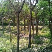 福建供应米径15公分鸡冠刺桐