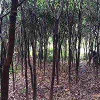 福建供应米径8公分绿化芒果