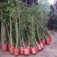 销售适应广东福建广西全境 湖南江西南部的热带植物佛肚竹袋苗