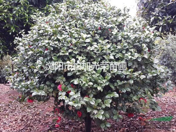 湖南地区畅销花灌木球山茶花 冠幅50~300分分货源充足
