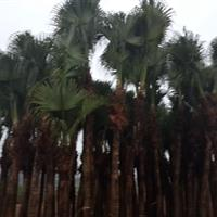 湖南江西湖北贵州地区热销苗木蒲葵 高度250~500米蒲葵