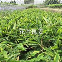 花叶良姜,沿阶草、葱兰、麦冬、金边麦冬、玉簪、红花酢浆草