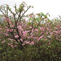 湖南垂丝海棠,3-5-6-7-8-10公分垂丝海棠贴根海棠