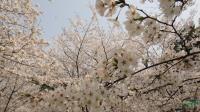 【樱花】青岛樱花|山东青岛樱花