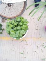 香菇草*新价格/香菇草报价