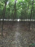 榉树供应/榉树图片