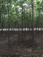 浙江榉树3信息
