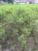 落羽杉 池杉 中山杉 种子苗3*新价格/落羽杉 池杉 中山杉 种子苗3报价