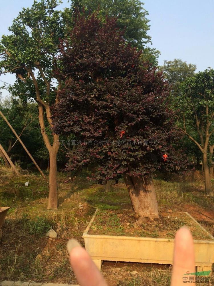 造型红花继木图片造型红花继木报价