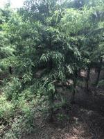 中山杉2供应/中山杉2图片