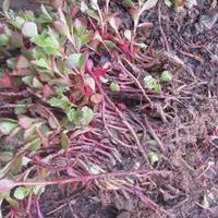 河北定州美林苗圃装盆红叶景天市场行情