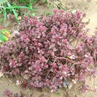 河北定州红叶景天种植基地常年销售