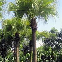 湖南长沙地区销售高度2.5~4.5米蒲葵