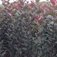 紫罗兰海棠苗价格