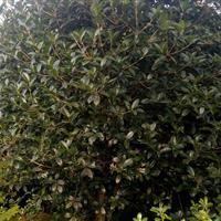 金桂,水杉、池杉、枫杨、意杨、垂柳、胸径3-25cm