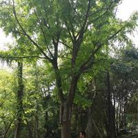 祥海园林基地批发供应各规格大皂角,皂荚树,规格齐全 价格实惠