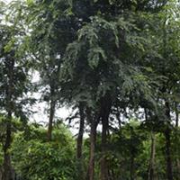供应朴树 、丛生朴树 、滇朴、沙朴