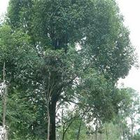 供应金银木、金丝桃、榉树、龙柏球、木绣球、南天竹、蔷薇、流