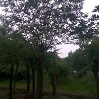 安徽精品朴树米径8-12-18-20-25-30公分价格