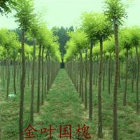 供应国槐、刚竹、桂花、红枫、红花木槿、红王子锦带、红叶碧桃