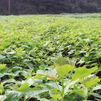 江西供应江南桤木小苗、一年生桤木苗 绿化小苗、优质一级苗