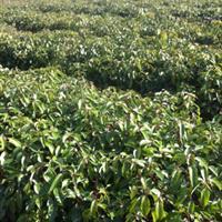 今年大量供应30万香樟小苗、大叶樟、小叶樟、高60公分以上、