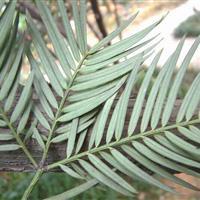 亚热带植物三尖杉苗子我公司有售    质量保证  可以来基地