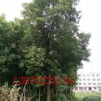 10-25公分重阳木 九江和谐大型种苗基地 九江重阳木