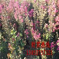 大量供应红火箭紫薇、丛生紫薇、