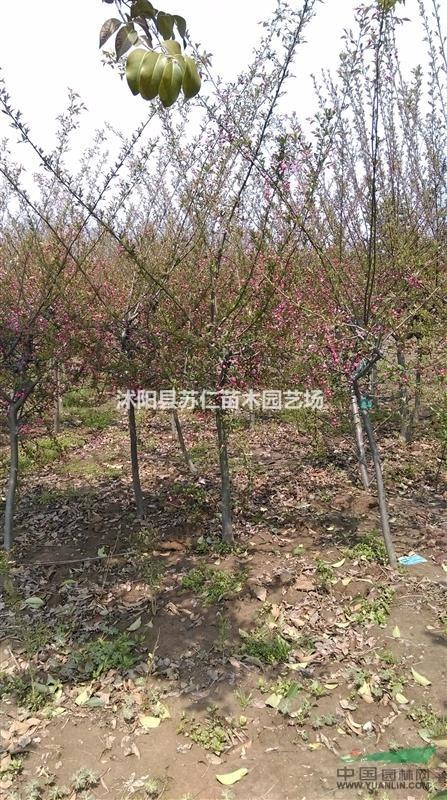 西府海棠行道树价格-苗木图片