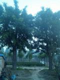 45公分皂角树