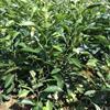 四川地区供应一年红橘苗