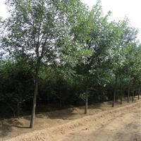 出售各种栾树、花楸、丁香、白蜡、云杉、金叶莸、杠柳