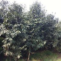 湖南竹柏,3-4-5-6-8-10-12公分竹柏树价格