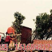 浙江地区专业供应各类果树杨梅树、桃子树、李子树等