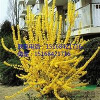 低价直销黄金条、黄金条球、铁杆海棠球、贴梗海棠、藤本月季