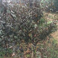 江苏批发垂丝榆叶梅,红叶榆叶梅,各种规格齐全,量大优惠